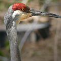 Sandhill Crane Closeup by Brian M Lumley