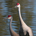 Sandhill Crane Couple By The Pond by Carol Groenen