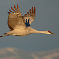 Sandhill Crane Flying Above The Mountains Of New Mexico by Max Allen