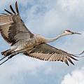 Sandhill Crane In Flight by Wes Iversen