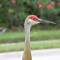 Sandhill Crane In Sarasota by Laura Martin