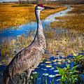 Sandhill Crane In The Glades by Debra and Dave Vanderlaan