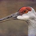 Sandhill Crane Portrait by Susan Grube