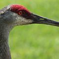 Sandhill Crane Profile by Carol Groenen
