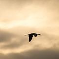 Sandhill Crane Silhouette Flying by Deb Fedeler
