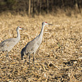 Sandhill Cranes  2015-2 by Thomas Young