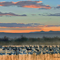Sandhill Cranes And Snow Geese by Tim Fitzharris
