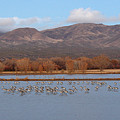Sandhill Cranes Beneath The Mountains Of New Mexico by Max Allen