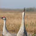Sandhill Cranes Calling by Paul Rebmann
