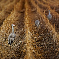 Sandhill Cranes - Cornfield by Nikolyn McDonald