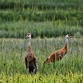Sandhill Cranes II by Amber D Hathaway Photography