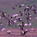 Sandhill Cranes  by Jeff Swan