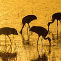 Sandhill Cranes On Golden Pond by Judi Dressler