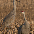 Sandhill Cranes On Watch by Dwain Patton