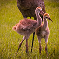 Sandhill Cranes Playing by Zina Stromberg