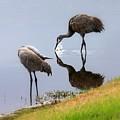 Sandhill Cranes Reflection On Pond by Carol Groenen