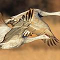 Sandhill Cranes by Virginia Dickens