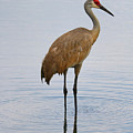 Sandhill Standing In Peaceful Pond by Carol Groenen