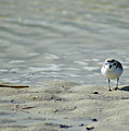 Sandpiper by Angelwolf Photography