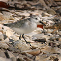 Sandpiper by Joseph G Holland