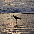 Sandpiper On A Golden Beach by Kenneth Albin