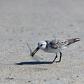 Sandpiper With Dragonfly by Michelle Constantine