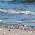 Sandpipers And Seashells - Poster by Margie Avellino