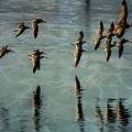 Sandpipers Shore Bound by John R Williams