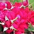 Sandusky Rose by Sheryl Sutter