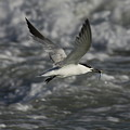 Sandwhich Tern Flies Over Stormy Waves by Barbara Bowen