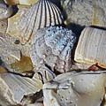 Sanibel Island Seashells Iv by Michiale Schneider
