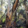 Santa Barbara Eucalyptus Forest by Kyle Hanson