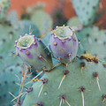 Santa Fe Prickly Pear Cactus by April Bern