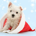 Santa's Westie by Warren Photographic
