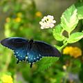 Sapphire Swallowtail by David Dunham