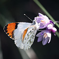 Sara Orange-tip On Wild Hyacinth by Christian Alvez