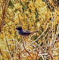 Sardinian Warbler by Jeff Townsend