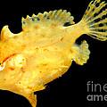 Sargassum Anglerfish by Dant� Fenolio