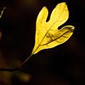 Sassafras Leaf Aglow by Douglas Barnett