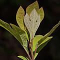 Sassafras Leaves by Grant Groberg
