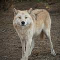 Sassy Wolf by Ana V Ramirez