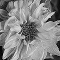 Satin Flora Bw by Stephanie Hanson