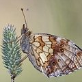 Satyr Butterfly On Blade Of Grass by Michal Boubin