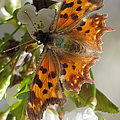 Satyr Comma by Frank Townsley