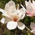 Saucer Magnolia by Karen Silvestri