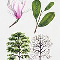 Saucer Magnolia by Unknown