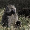 Savannah Olive Baboon  by Sandra Bronstein