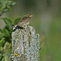 Savannah Sparrow.. by Nina Stavlund