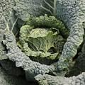 Savoy Cabbage In The Vegetable Garden by Carol Groenen