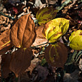 Sawbrier Or Greenbriar In The Fall by Douglas Barnett